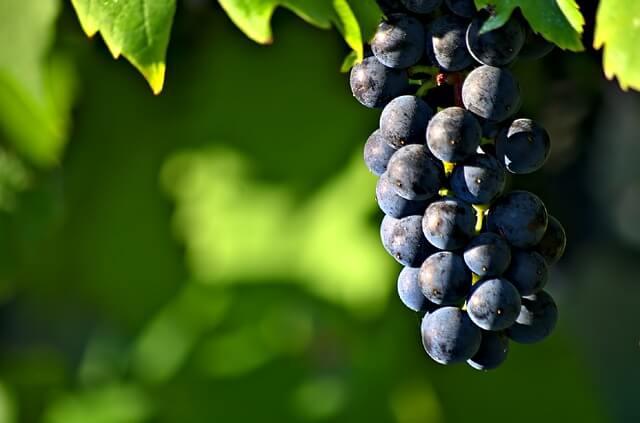 struguri negri antioxidanti