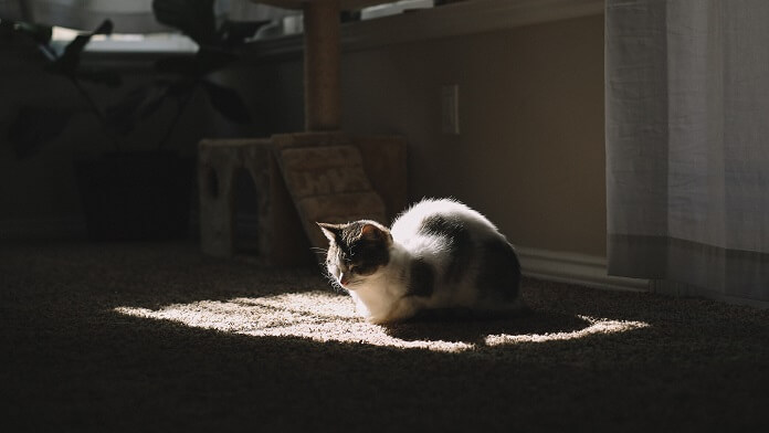 pisica covor