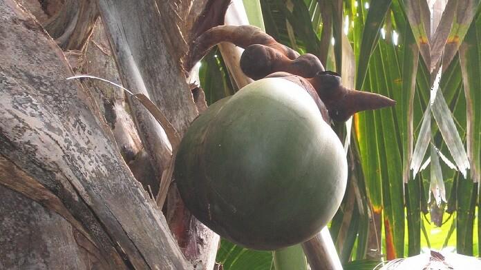 palmier coco de mer